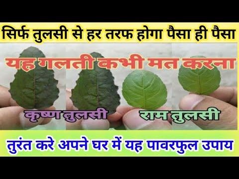 तुलसी का कौनसा पौधा घर लाए| राम तुलसी और कृष्णा तुलसी में अंतर| Which Tulsi to Grow at होम |Vastu