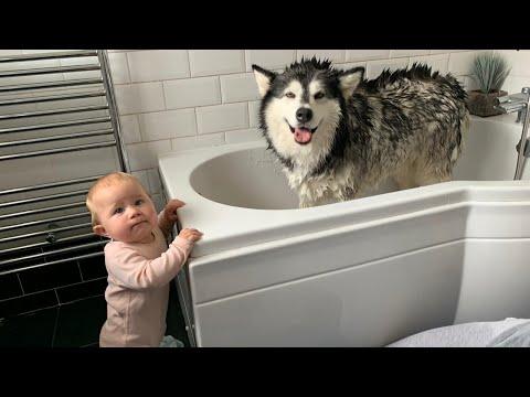 Alaskan Malamute Bath Time Naughty Niko Rolled In Poo Youtube 9) life with malamutes is soon to become life with malamutes and a newborn! youtube