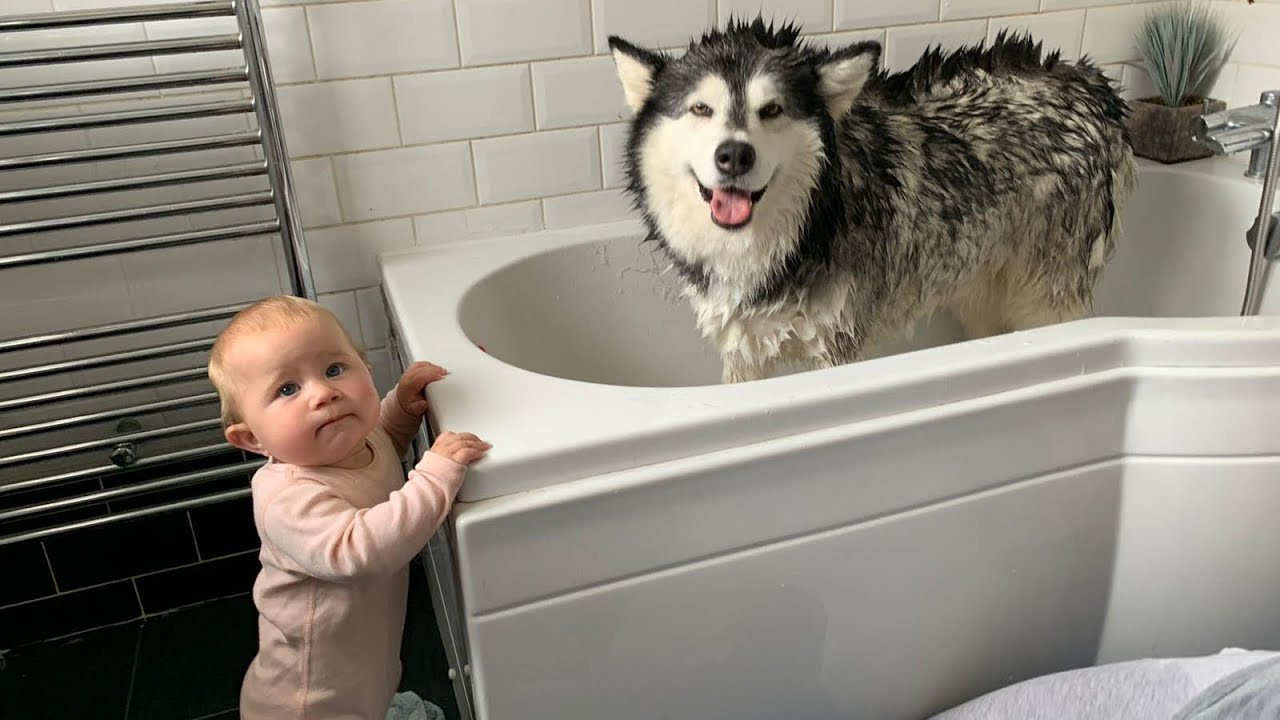Alaskan Malamute Bath Time Naughty Niko Rolled In Poo Youtube That is, if you don't understand how to train them. alaskan malamute bath time naughty niko rolled in poo