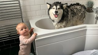 Alaskan Malamute Bath Time! Naughty Niko Rolled In Poo!