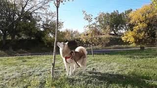 Прогулка с хаски...Бердянск...Смешная собака