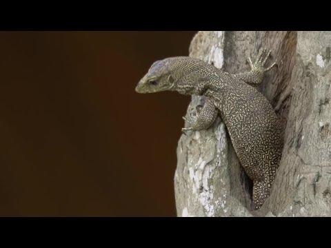 Monitor Lizard Reptile Wildlife Asia Stock Video