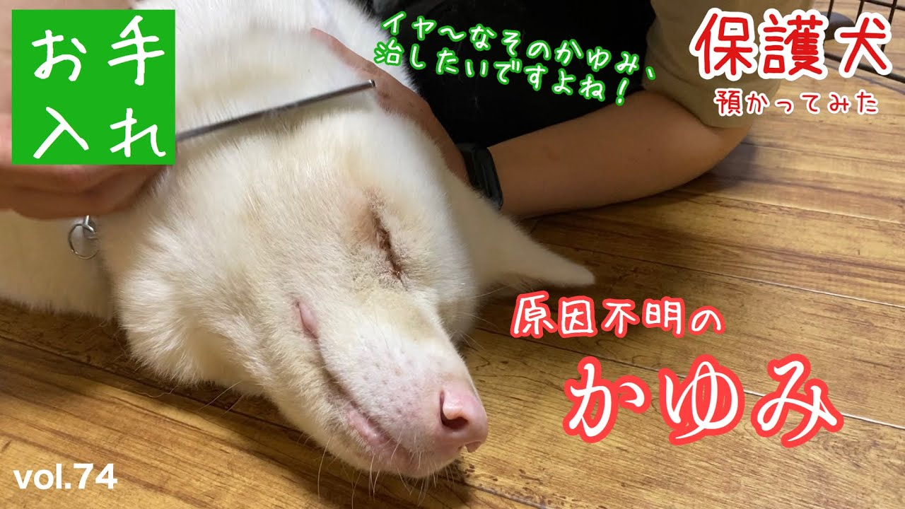 【老犬との暮らし】なぜか身体がかゆいおばあちゃん