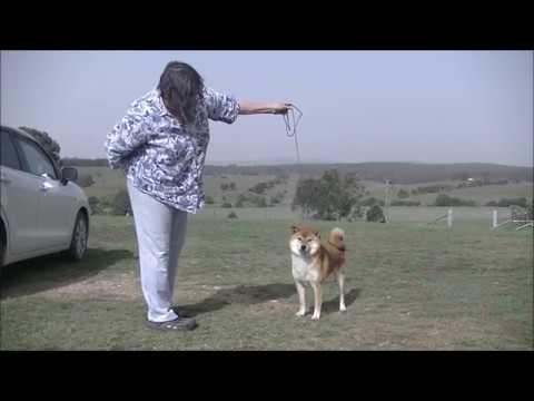 Shiba Inu Kennel In Australia