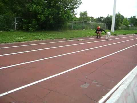 White Standard Poodle running on an olympic track / Caniche Royal Blanc