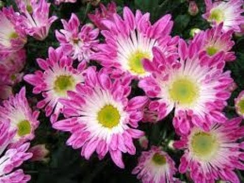 Chrysanthemum flower cultivation