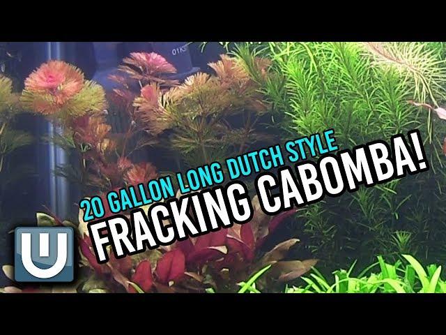 Fracking Cabomba! | 20g Dutch Style