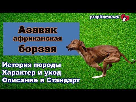 Азавак - описание #породы собак африканская #борзая