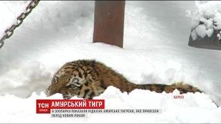 В харківському зоопарку показали рідкісного амурського тигра, на якого там чекали 15 років