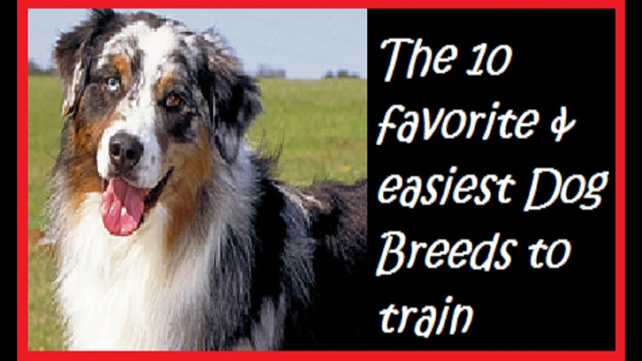 The 10 favorite  | Easiest Dog Breeds To Train