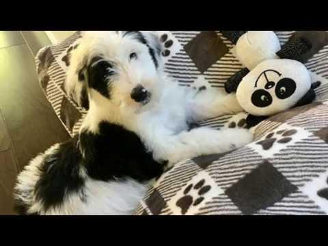Panda Kim the Sheepadoodle