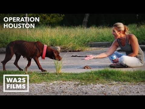 Starving Stray Dog Rescued & Fed After Hurricane Harvey - Hope For Dogs Like My DoDo