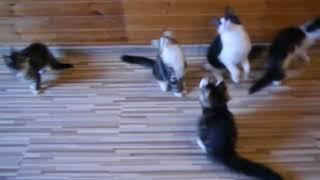 Норвежские лесные котята fashionpeak.ru