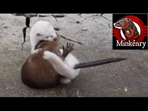 INTENSE mink vs muskrat struggle