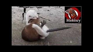 vuclip INTENSE mink vs muskrat struggle