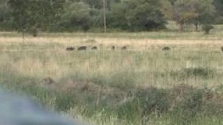 Wild Boar hunting in Northern CA#4