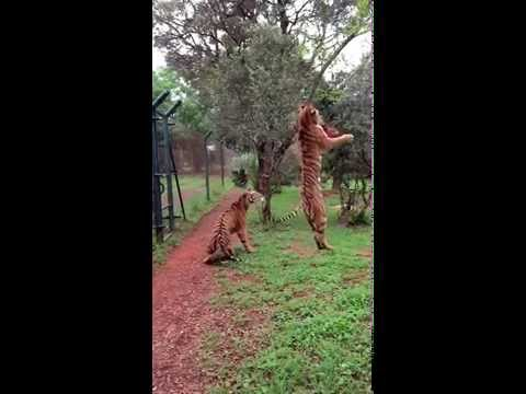 crazy-animal-video-tiger-jumps-for-meat