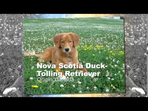 Nova Scotia Duck Toiling Retriever Dog Breed