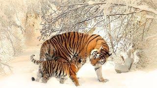 👍👍👍 От Рождения До Зрелости /ПЛАНЕТА ЖИВОТНЫХ -Тигрята:) очень интересное видео