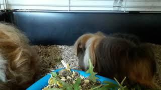 Перуанская морская свинка и морская свинка альпака