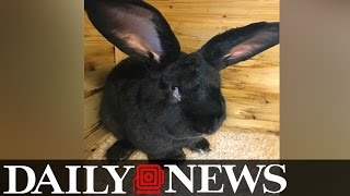 Simon The Giant Bunny Found Dead After ...