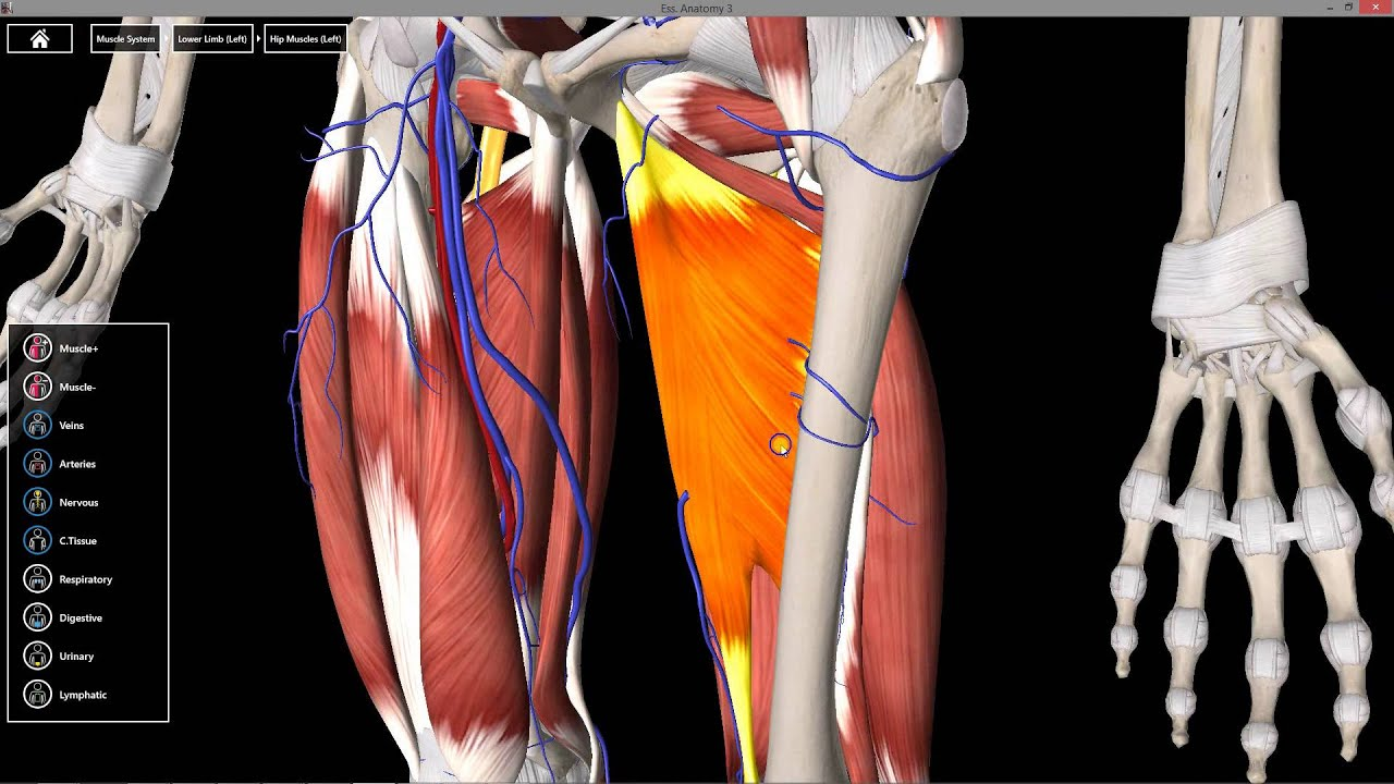 Popliteal fossa and posterior thigh anatomy - YouTube