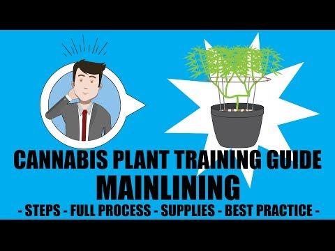 Mainlining/Manifolding - Marijuana Training Techniques