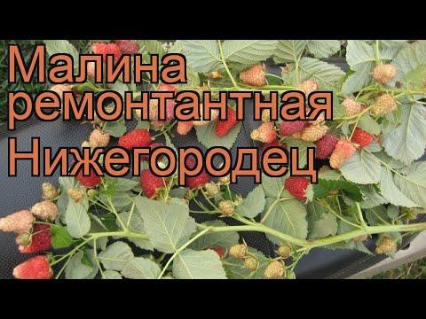 Малина ремонтантная Нижегородец (rubus idaeus) 🌿 обзор: как сажать, саженцы малины Нижегородец