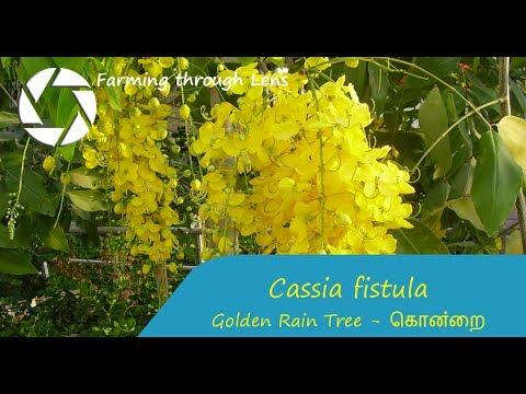 Cassia fistula - Golden Rain Tree - கொன்றை