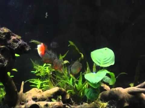 Download Piranhas pygocentrus nattereri VS poisson rouge