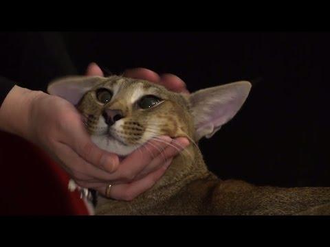Presentaron un raro felino que cuesta más de 23.000 dólares