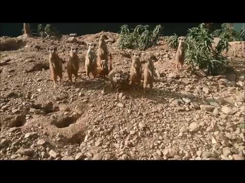 Naissance 4 Bebes Suricates Pour 9 Gardes Du Corps La Londe Les