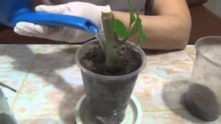 #Черенкование_бругмансии ч. 2   Cuttings Brugmansia h. 2