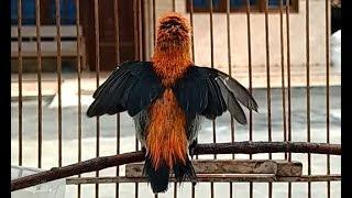 Download Mp3 Suara Kemade Ini Paling Dicari , Kicauan Burung Cabe Cabean Gacor Vol Lantang &a