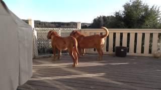 Dogue De Bordeaux Morgan Barking....