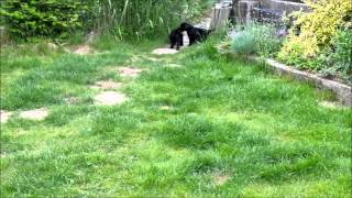 7 Weeks Old Giant Schnauzer Puppies Playing In The Garden
