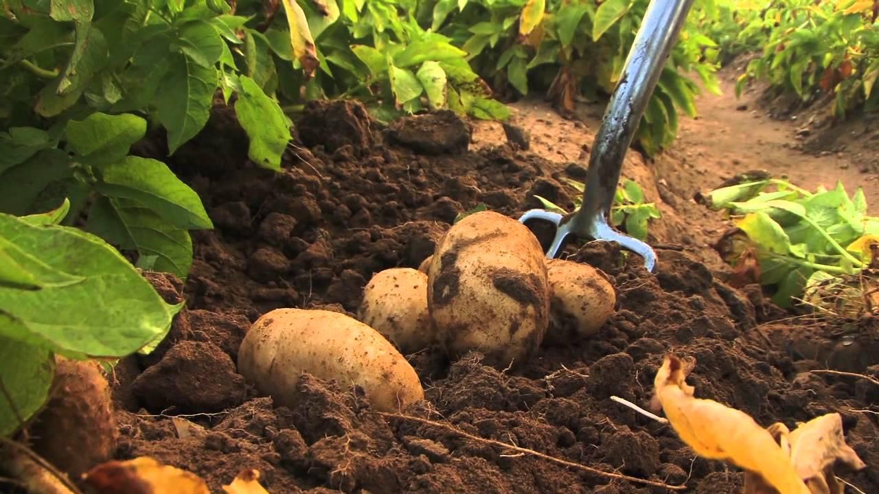 The Potato Farmer - YouTube