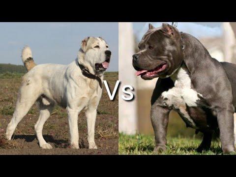 Питбуль против Алабай! КТО СИЛЬНЕЕ? Pittbull VS Alabay! WHO IS STRONGER?