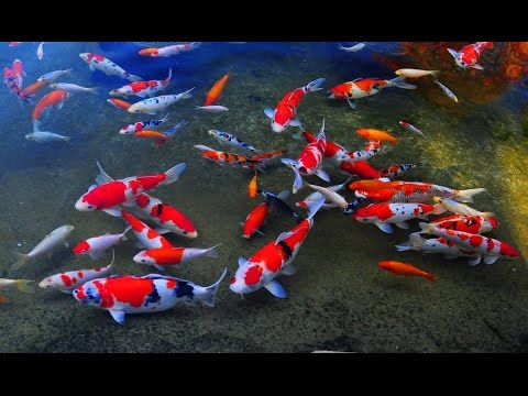 Koi fish keeping and koi care youtube for Koi fish care