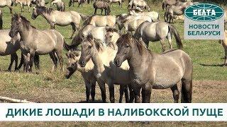 Дикие лошади будут жить в Налибокской пуще