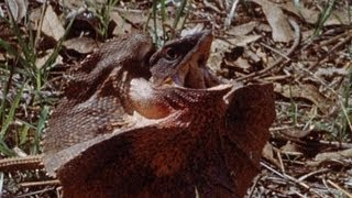 The Frill Lizard - Adventure: Quest Under Capricorn - BBC Four Attenborough Collection