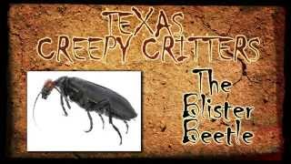 Texas Creepy Critters: The Blister Beetle