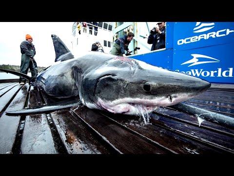 Что за существо может укусить белую акулу длинной 4 метра? Несколько интересных фактов о акулах - Видео онлайн