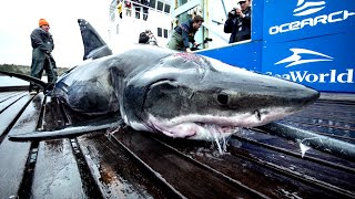 Что за существо может укусить белую акулу длиной 4 метра? Несколько интересных фактов о акулах смотреть онлайн в хорошем качестве - VIDEOOO