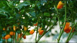 Có vị ngọt, thơm, không cay: Trồng ớt trái cây baby I Sweet, not spicy: Growing baby fruit chili