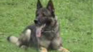 German Shepherd Cir Va-pe, Schutzhund Training