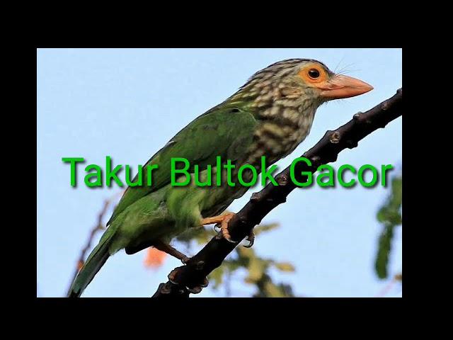 Download Burung Bultok Mp3 Mp4 3gp Flv Download Lagu Mp3 Gratis