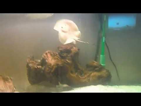 Fresh Water Stingray in 80 Gallon Tank