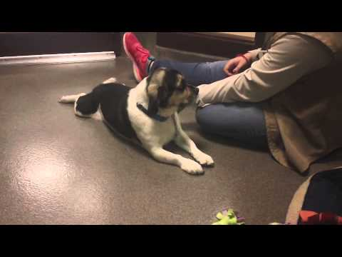Harley a 5.5 year old Neutered Male Pekingese/Beagle mix Available at WHS Ozaukee Campus!