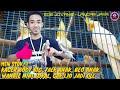 New Stok Wambie Mini Lokal Beo Dan Falk Anak Kacer Cak Mas Cak Ijo Gacor Dll Edie Jovanis  Mp3 - Mp4 Download